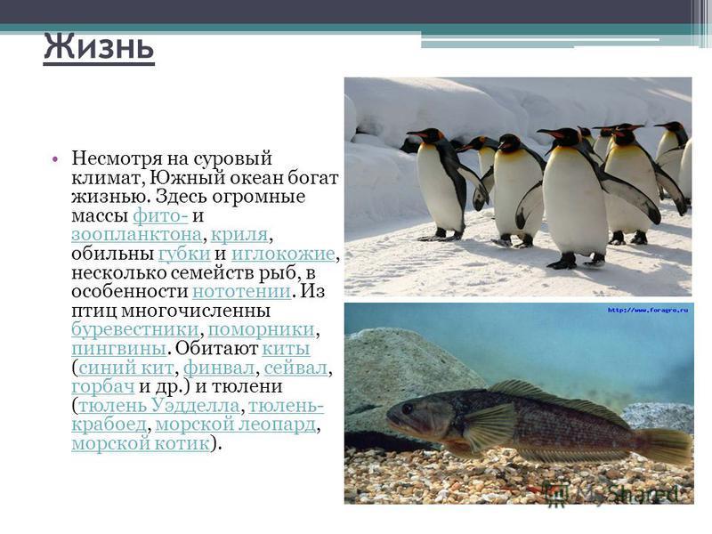 Жизнь Несмотря на суровый климат, Южный океан богат жизнью. Здесь огромные массы фито- и зоопланктона, криля, обильны губки и иглокожие, несколько семейств рыб, в особенности нототении. Из птиц многочисленны буревестники, поморники, пингвины. Обитают