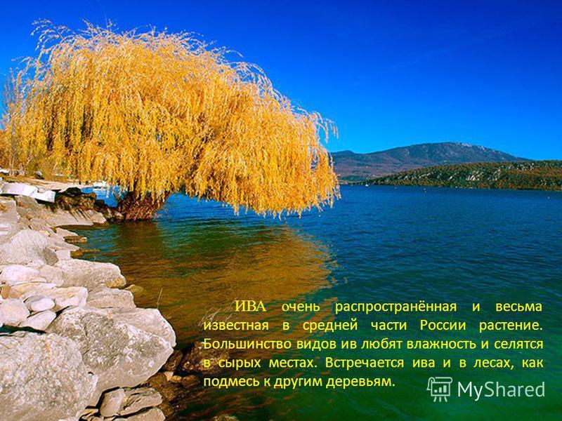 ИВА очень распространённая и весьма известная в средней части России растение. Большинство видов ив любят влажность и селятся в сырых местах. Встречается ива и в лесах, как подмесь к другим деревьям.