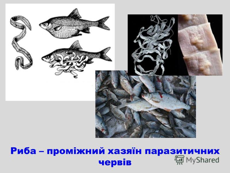 Риба – проміжний хазяїн паразитичних червів