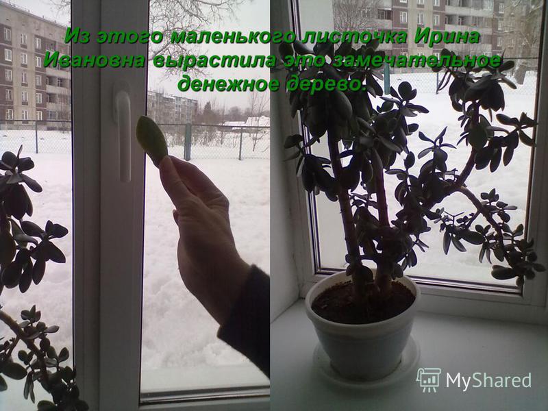 Из этого маленького листочка Ирина Ивановна вырастила это замечательное денежное дерево.