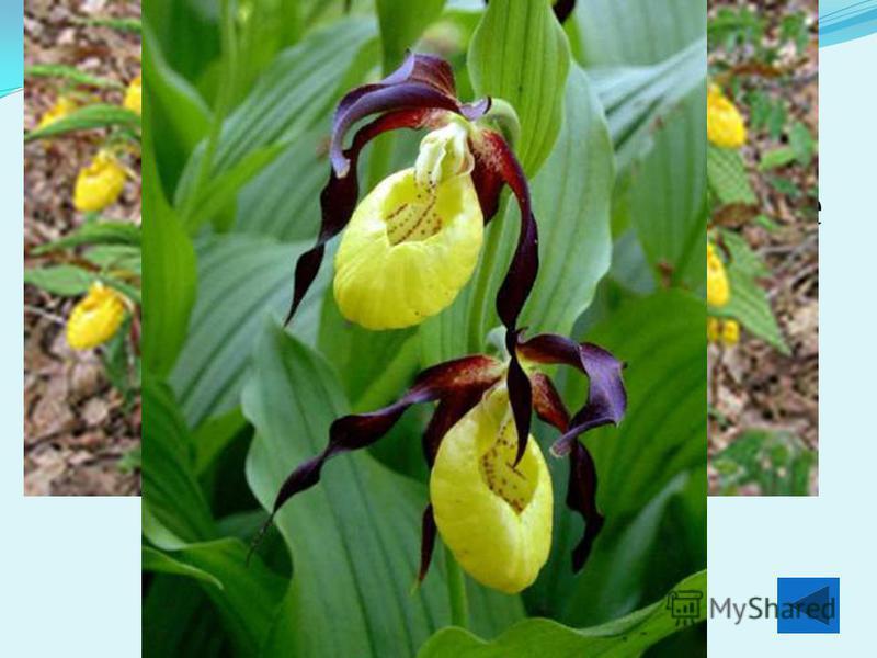 Северная орхидея венерин башмачок растет на почвах, богатых элементом, в атоме которого по 20 протонов, нейтронов и электронов Кальций