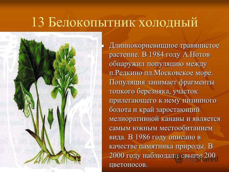 13 Белокопытник холодный Длиннокорневищное травянистое растение. В 1984 году А.Нотов обнаружил популяцию между п.Редкино пл.Московское море. Популяция занимает фрагменты топкого березняка, участок прилегающего к нему низинного болота и край зарастающ