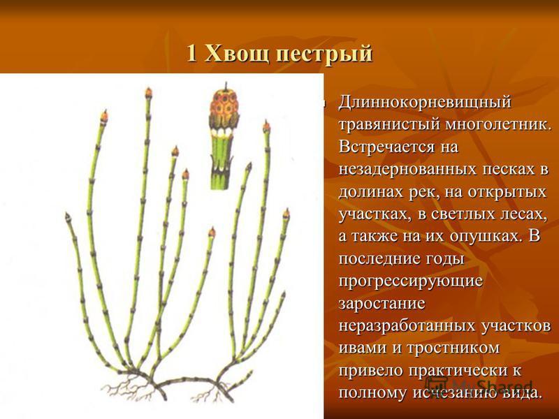 1 Хвощ пестрый Длиннокорневищный травянистый многолетник. Встречается на незадернованных песках в долинах рек, на открытых участках, в светлых лесах, а также на их опушках. В последние годы прогрессирующие зарастание неразработанных участков ивами и