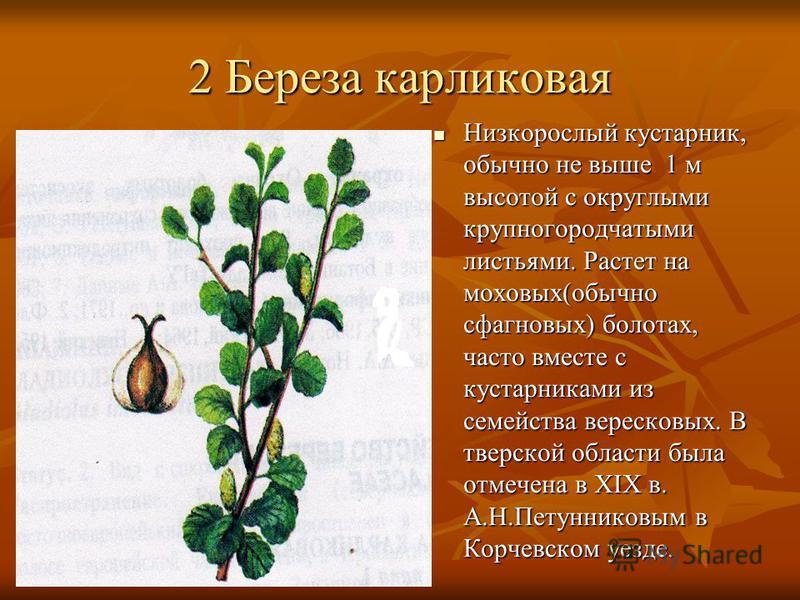 2 Береза карликовая Низкорослый кустарник, обычно не выше 1 м высотой с округлыми крупногородчатыми листьями. Растет на моховых(обычно сфагновых) болотах, часто вместе с кустарниками из семейства вересковых. В тверской области была отмечена в ХIХ в.