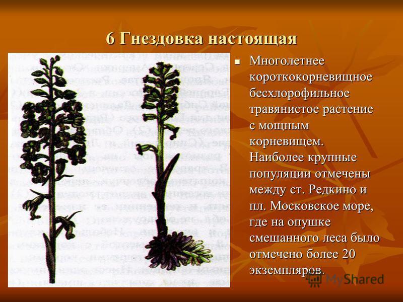 6 Гнездовка настоящая Многолетнее короткокорневищное бесхлорофильное травянистое растение с мощным корневищем. Наиболее крупные популяции отмечены между ст. Редкино и пл. Московское море, где на опушке смешанного леса было отмечено более 20 экземпляр