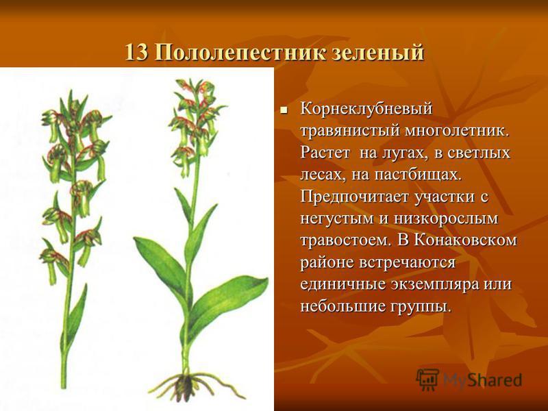 13 Пололепестник зеленый Корнеклубневый травянистый многолетник. Растет на лугах, в светлых лесах, на пастбищах. Предпочитает участки с негустым и низкорослым травостоем. В Конаковском районе встречаются единичные экземпляра или небольшие группы. Кор