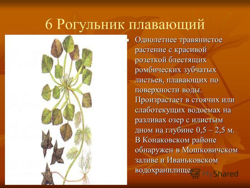 6 Рогульник плавающий Однолетнее травянистое растение с красивой розеткой блестящих ромбических зубчатых листьев, плавающих по поверхности воды. Произрастает в стоячих или слабо текущих водоемах на разливах озер с илистым дном на глубине 0,5 – 2,5 м.