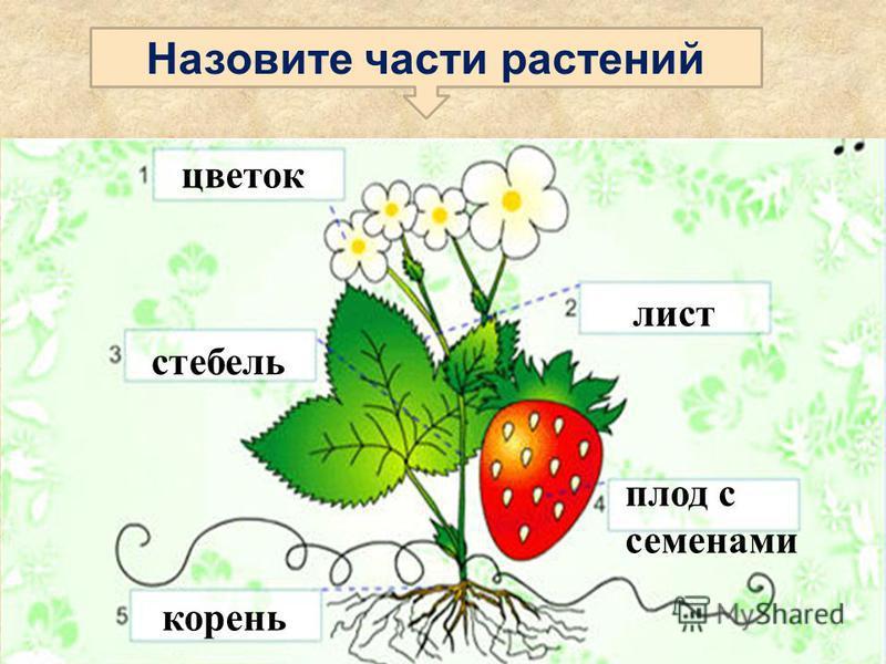 Назовите части растений корень цветок лист стебель плод с семенами