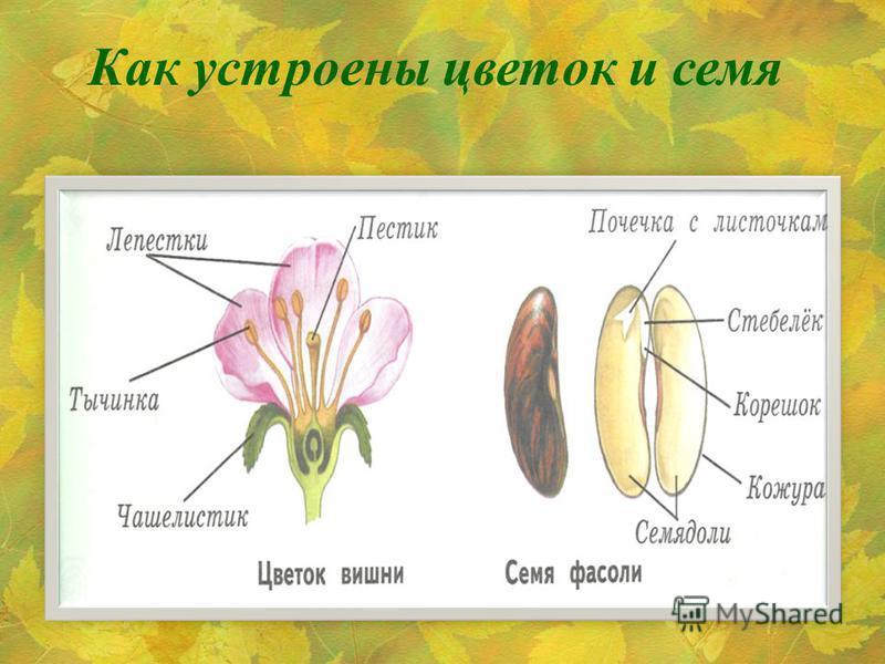 Как устроены цветок и семя