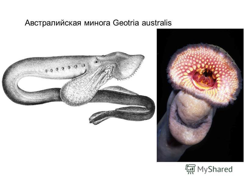 Австралийская минога Geotria australis