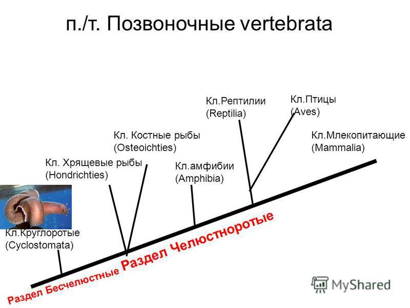 Кл.Птицы (Aves) Кл.амфибии (Amphibia) Кл.Млекопитающие (Мammalia) Кл.Рептилии (Reptilia) Кл.Круглоротые (Cyclostomata) Кл. Костные рыбы (Osteoichties) Кл. Хрящевые рыбы (Hondrichties) Раздел Челюстноротые Раздел Бесчелюстные п./т. Позвоночные vertebr