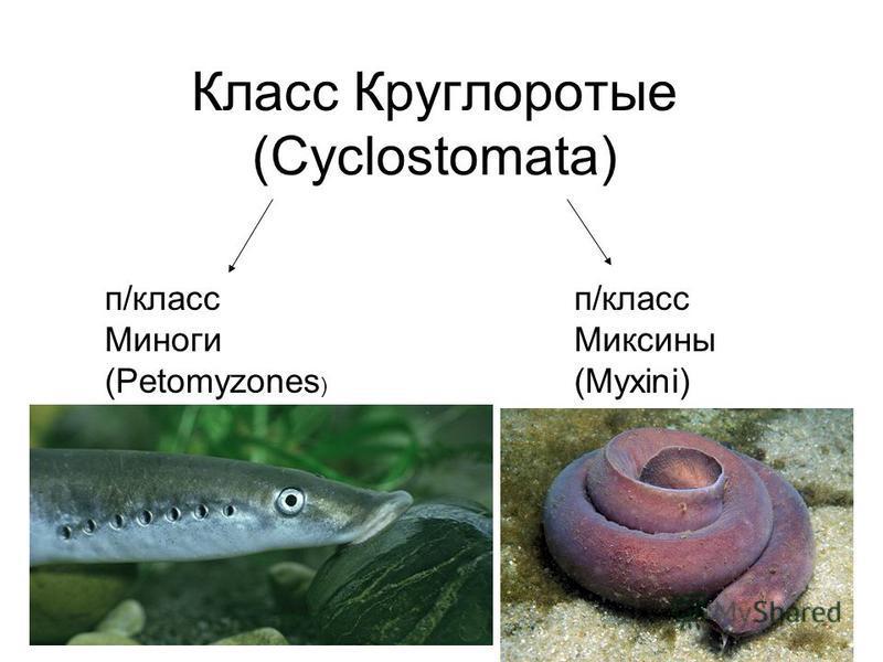 Класс Круглоротые (Cyclostomata) п/класс Миноги (Petomyzones ) п/класс Миксины (Myxini)