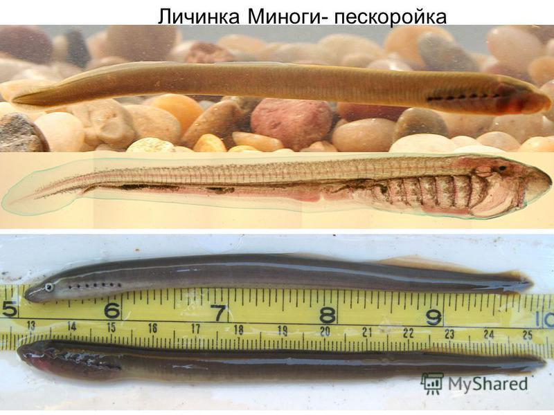 Личинка Миноги- пескоройка