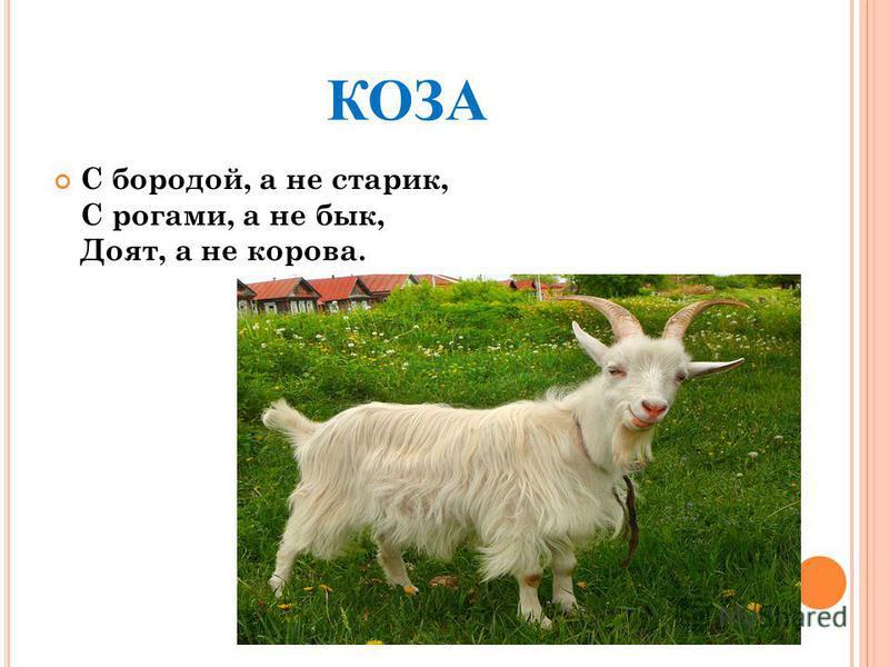 КОЗА С бородой, а не старик, С рогами, а не бык, Доят, а не корова.