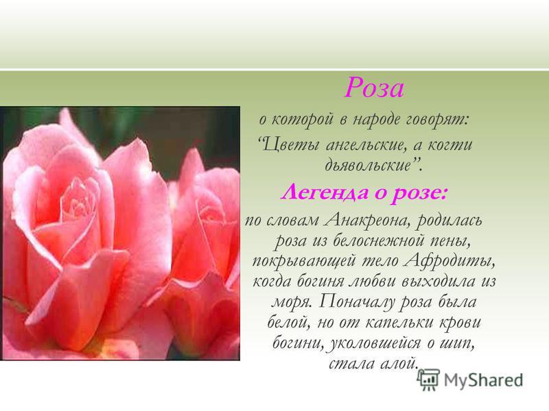 Роза о которой в народе говорят: Цветы ангельские, а когти дьявольские. Легенда о розе: по словам Анакреона, родилась роза из белоснежной пены, покрывающей тело Афродиты, когда богиня любви выходила из моря. Поначалу роза была белой, но от капельки к