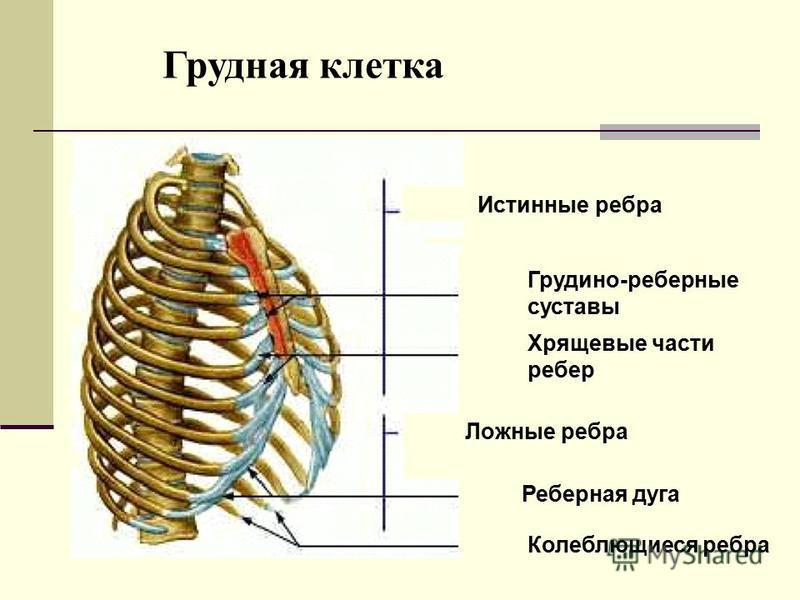 Истинные ребра Грудино-реберные суставы Хрящевые части ребер Ложные ребра Реберная дуга Колеблющиеся ребра Грудная клетка