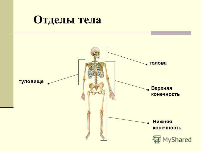 голова Верхняя конечность Нижняя конечность туловище Отделы тела