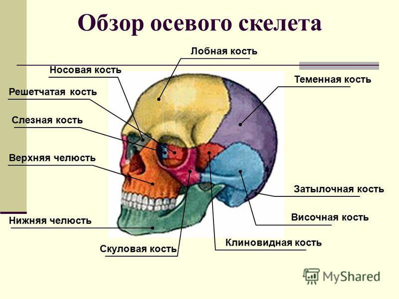 Решетчатая кость Слезная кость Носовая кость Лобная кость Теменная кость Затылочная кость Височная кость Клиновидная кость Скуловая кость Нижняя челюсть Верхняя челюсть Обзор осевого скелета