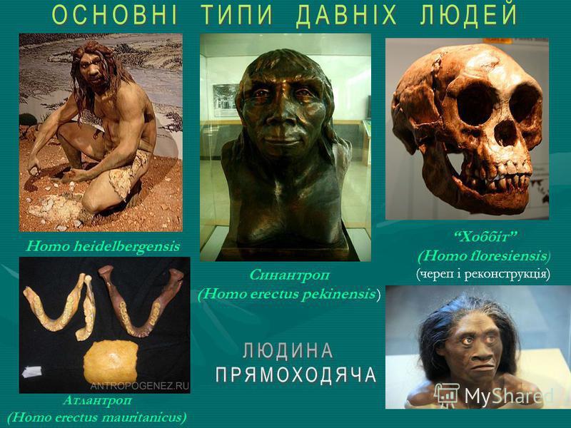 Людина прямоходяча – Людина прямоходяча – (лат. Homo erectus) – вид роду Homo, який розглядають як безпосередньо передуючий сучасній людині. Юаньмоуська людина Вважається, що еректуси з'явилися у Східній Африці в епоху середнього плейстоцену, і вже 1