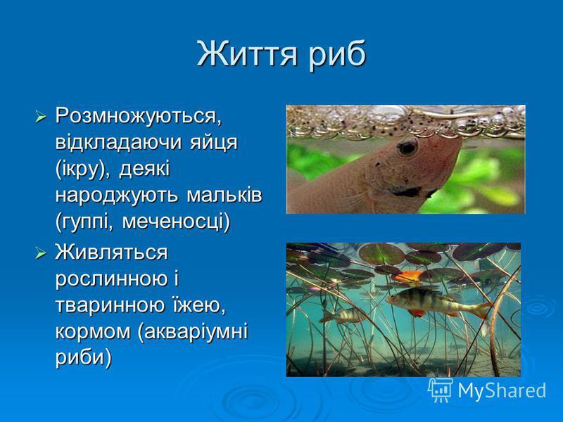 Життя риб Розмножуються, відкладаючи яйця (ікру), деякі народжують мальків (гуппі, меченосці) Живляться рослинною і тваринною їжею, кормом (акваріумні риби)