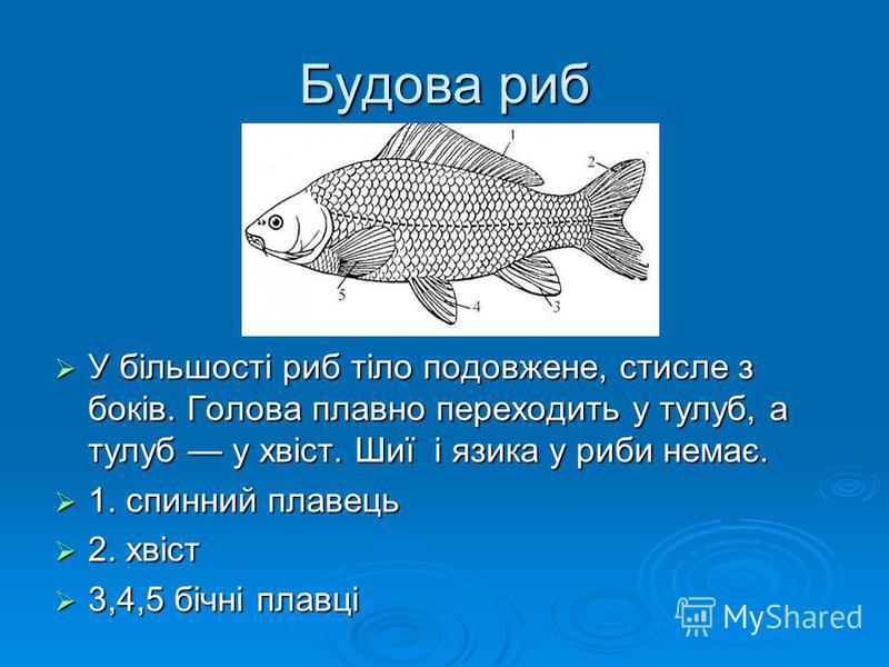 Будова риб У більшості риб тіло подовжене, стисле з боків. Голова плавно переходить у тулуб, а тулуб у хвіст. Шиї і язика у риби немає. У більшості риб тіло подовжене, стисле з боків. Голова плавно переходить у тулуб, а тулуб у хвіст. Шиї і язика у р