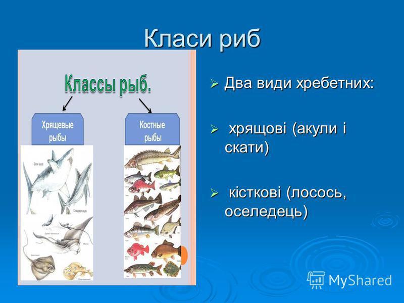 Класи риб Два види хребетних: Два види хребетних: хрящові (акули і скати) хрящові (акули і скати) кісткові (лосось, оселедець) кісткові (лосось, оселедець)