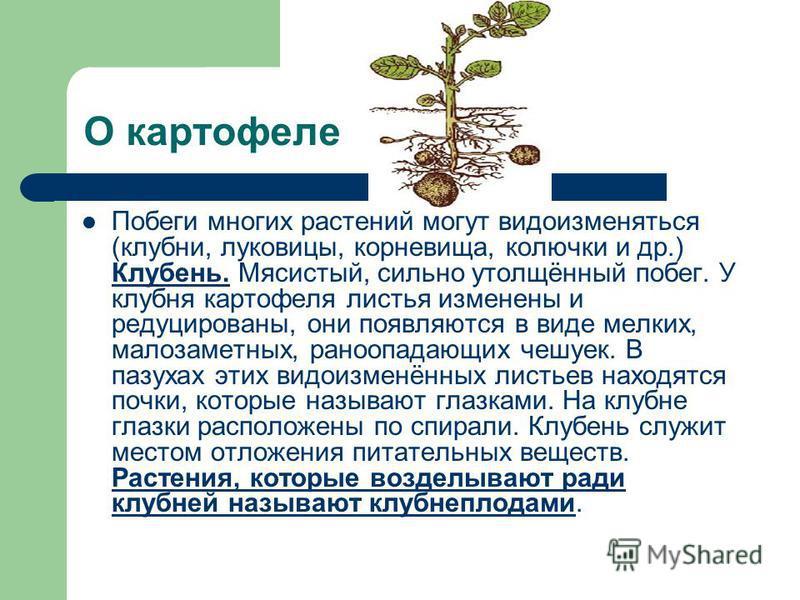 О картофеле Побеги многих растений могут видоизменяться (клубни, луковицы, корневища, колючки и др.) Клубень. Мясистый, сильно утолщённый побег. У клубня картофеля листья изменены и редуцированы, они появляются в виде мелких, малозаметных, рано опада