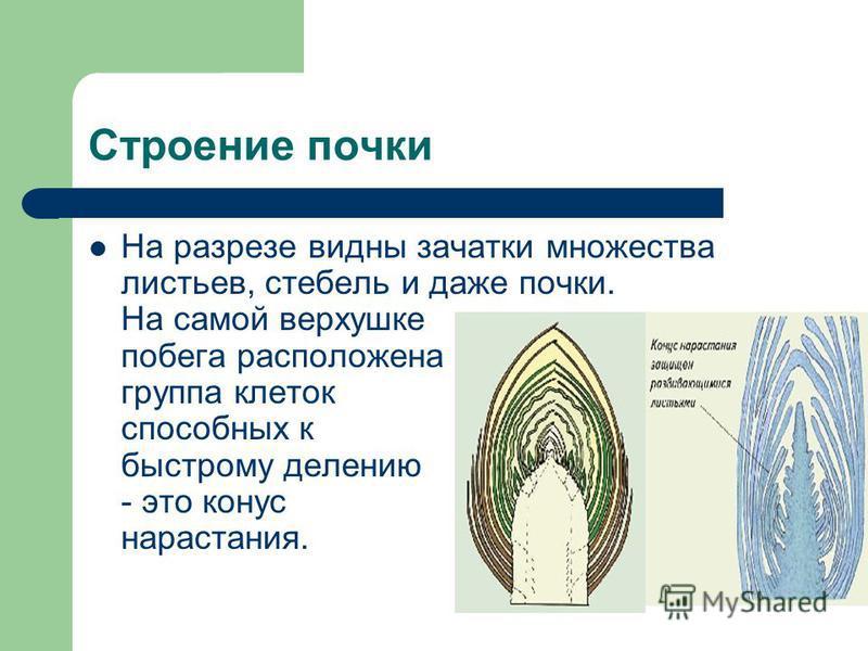 Строение почки На разрезе видны зачатки множества листьев, стебель и даже почки. На самой верхушке побега расположена группа клеток способных к быстрому делению - это конус нарастания.