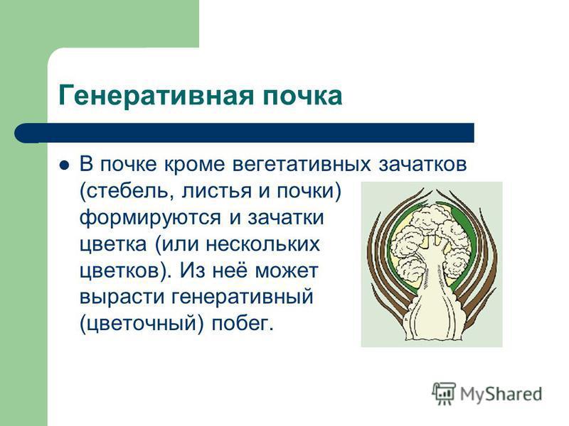 Генеративная почка В почке кроме вегетативных зачатков (стебель, листья и почки) формируются и зачатки цветка (или нескольких цветков). Из неё может вырасти генеративный (цветочный) побег.