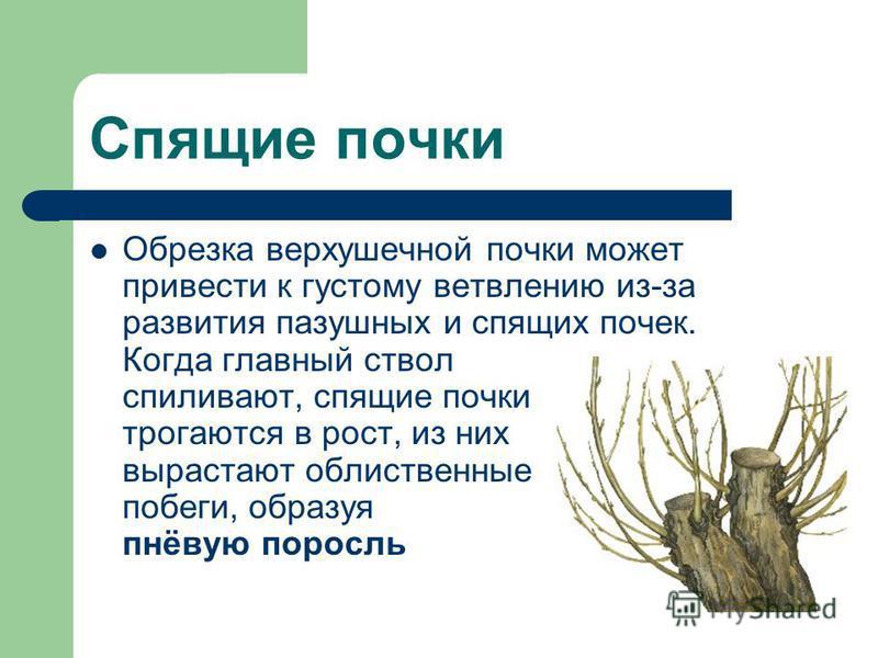 Спящие почки Обрезка верхушечной почки может привести к густому ветвлению из-за развития пазушных и спящих почек. Когда главный ствол спиливают, спящие почки трогаются в рост, из них вырастают облиственные побеги, образуя пнёвую поросль