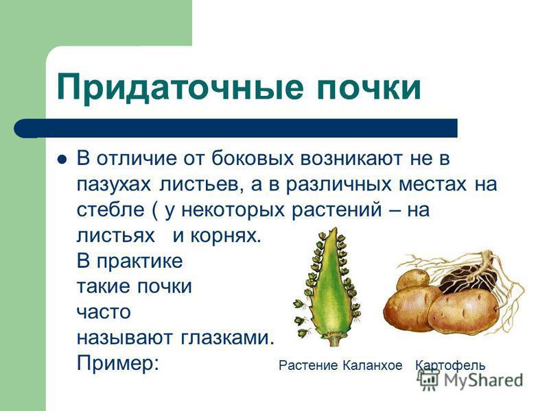 Придаточные почки В отличие от боковых возникают не в пазухах листьев, а в различных местах на стебле ( у некоторых растений – на листьях и корнях. В практике такие почки часто называют глазками. Пример: Растение Каланхое Картофель