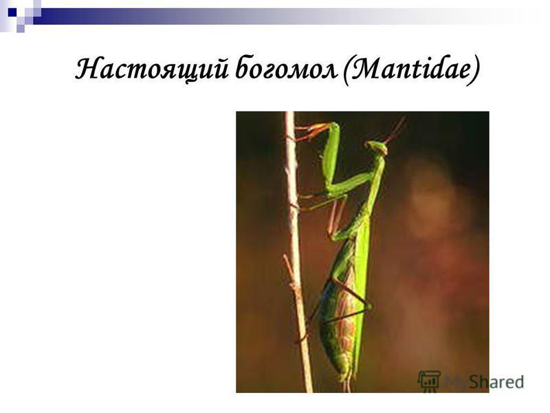 Настоящий богомол (Mantidae)