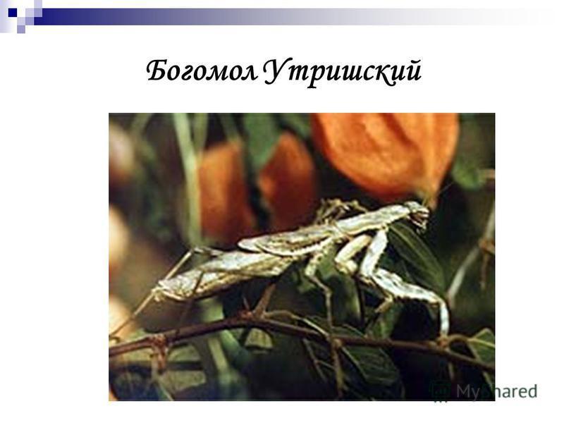 Богомол Утришский