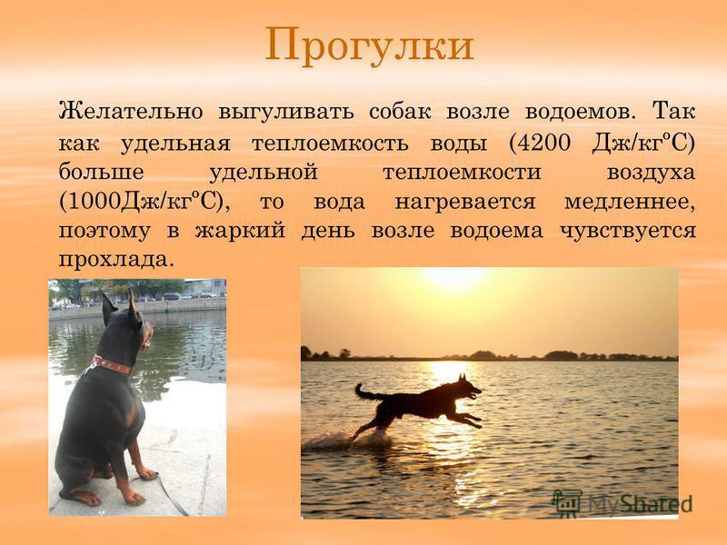 Прогулки Желательно выгуливать собак возле водоемов. Так как удельная теплоемкость воды (4200 Дж/кгºС) больше удельной теплоемкости воздуха (1000Дж/кгºС), то вода нагревается медленнее, поэтому в жаркий день возле водоема чувствуется прохлада.