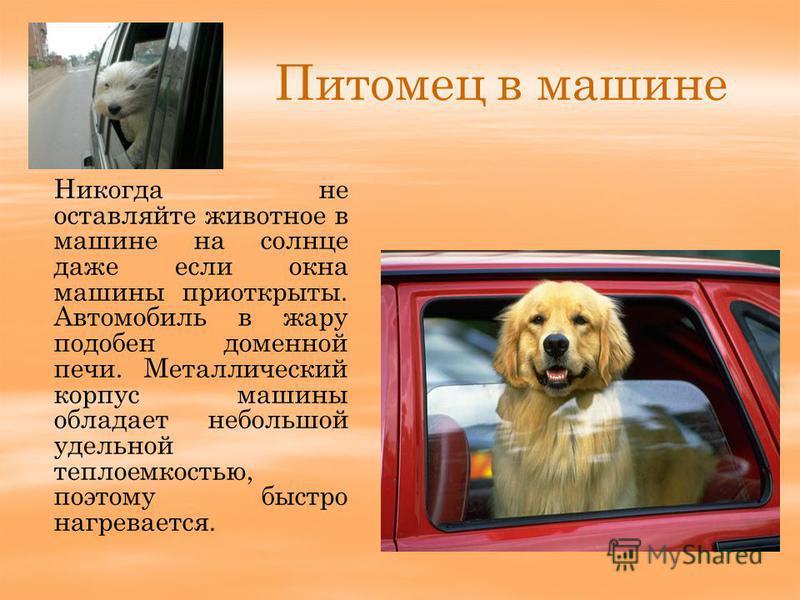 Питомец в машине Никогда не оставляйте животное в машине на солнце даже если окна машины приоткрыты. Автомобиль в жару подобен доменной печи. Металлический корпус машины обладает небольшой удельной теплоемкостью, поэтому быстро нагревается.