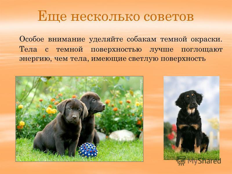 Еще несколько советов Особое внимание уделяйте собакам темной окраски. Тела с темной поверхностью лучше поглощают энергию, чем тела, имеющие светлую поверхность