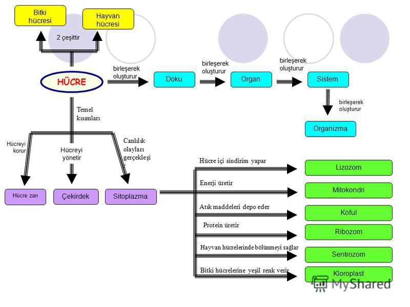 Bitki hücresi Hayvan hücresi Organizma SistemOrganDoku HÜCRE Temel kısımları ÇekirdekSitoplazma Hücre zarı birleşerek oluşturur birleşerek oluşturur birleşerek oluşturur birleşerek oluşturur 2 çeşittir Canlılık olayları gerçekleşi r Hücreyi korur Hüc