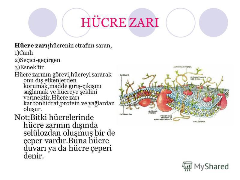 HÜCRE ZARI Hücre zarı;hücrenin etrafını saran, 1)Canlı 2)Seçici-geçirgen 3)Esnektir. Hücre zarının görevi,hücreyi sararak onu dış etkenlerden korumak,madde giriş-çıkışını sağlamak ve hücreye şeklini vermektir.Hücre zarı karbonhidrat,protein ve yağlar