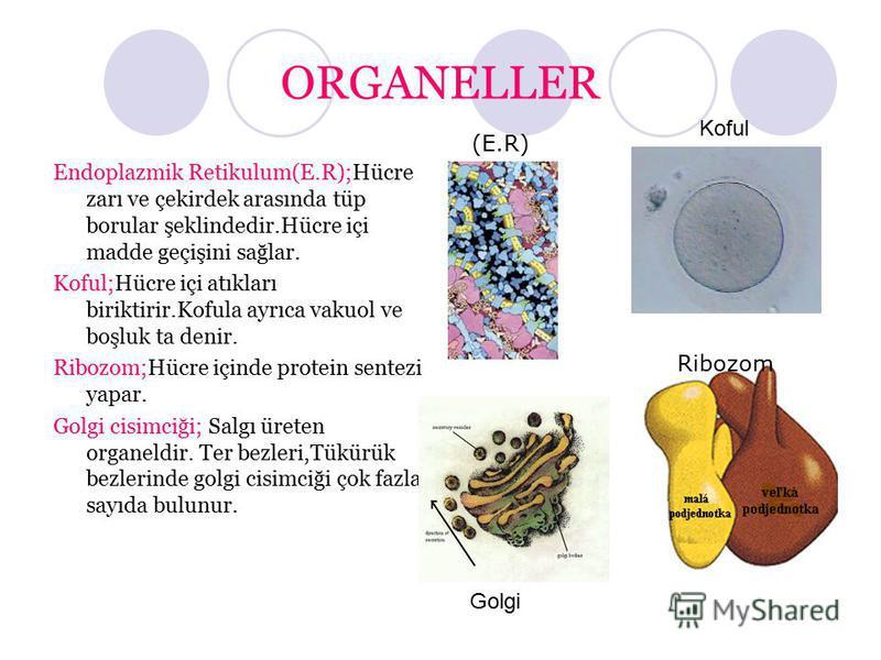 ORGANELLER Endoplazmik Retikulum(E.R);Hücre zarı ve çekirdek arasında tüp borular şeklindedir.Hücre içi madde geçişini sağlar. Koful;Hücre içi atıkları biriktirir.Kofula ayrıca vakuol ve boşluk ta denir. Ribozom;Hücre içinde protein sentezi yapar. Go