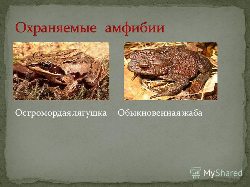 Остромордая лягушка Обыкновенная жаба