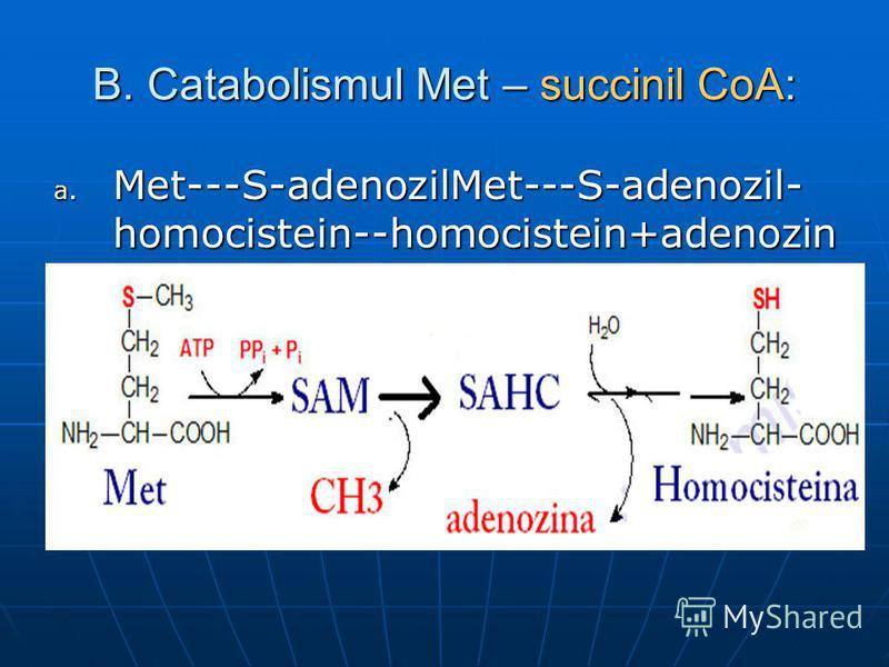 B. Catabolismul Met – succinil CoA: a. Met---S-adenozilMet---S-adenozil- homocistein--homocistein+adenozin