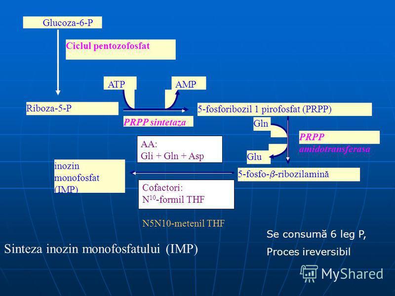 Riboza-5-P 5-fosfo- -ribozilamină Glu PRPP amidotransferasa Gln inozin monofosfat (IMP) AA: Gli + Gln + Asp Cofactori: N 10 -formil THF N5N10-metenil THF Glucoza-6-P Ciclul pentozofosfat PRPP sintetaza ATPAMP 5-fosforibozil 1 pirofosfat (PRPP) Sintez