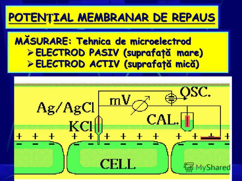 POTEN Ţ IAL MEMBRANAR DE REPAUS MĂSURARE: Tehnica de microelectrod ELECTROD PASIV (suprafaţă mare) ELECTROD PASIV (suprafaţă mare) ELECTROD ACTIV (suprafaţă mică) ELECTROD ACTIV (suprafaţă mică)
