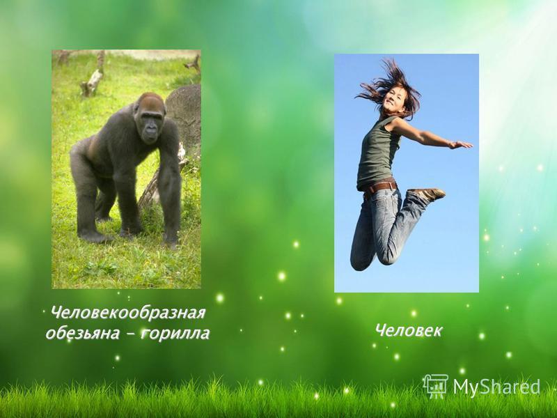 Человекообразная обезьяна - горилла Человек