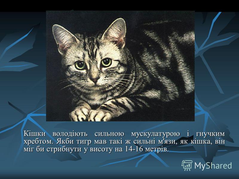 Кішки володіють сильною мускулатурою і гнучким хребтом. Якби тигр мав такі ж сильні м'язи, як кішка, він міг би стрибнути у висоту на 14-16 метрів.