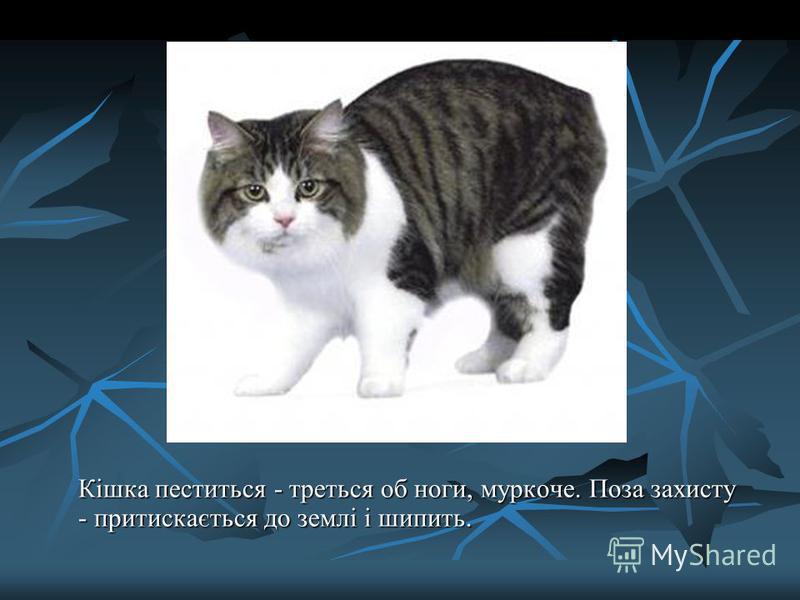 Кішка пеститься - треться об ноги, муркоче. Поза захисту - притискається до землі і шипить.