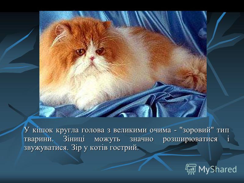 У кішок кругла голова з великими очима - зоровий тип тварини. Зіниці можуть значно розширюватися і звужуватися. Зір у котів гострий.