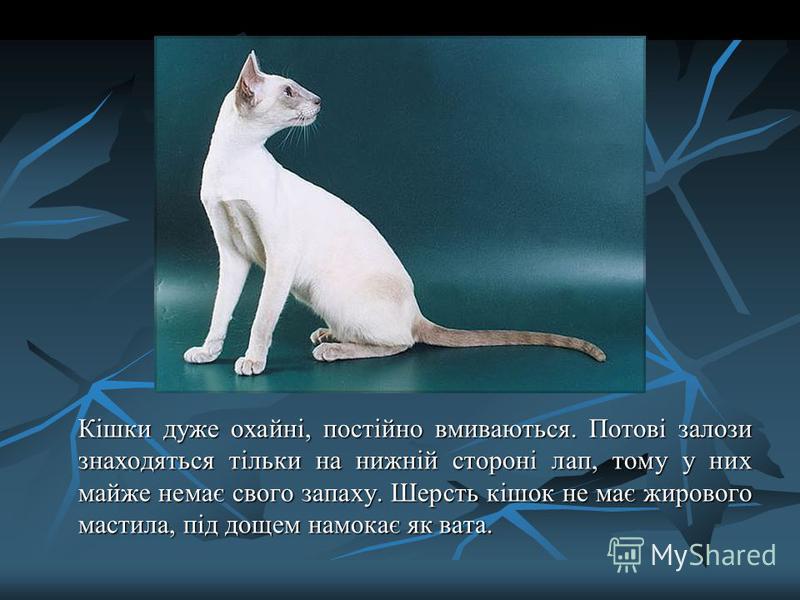 Кішки дуже охайні, постійно вмиваються. Потові залози знаходяться тільки на нижній стороні лап, тому у них майже немає свого запаху. Шерсть кішок не має жирового мастила, під дощем намокає як вата.