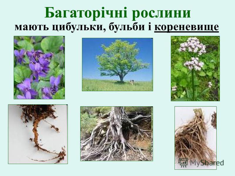 Багаторічні рослини мають цибульки, бульби і кореневище