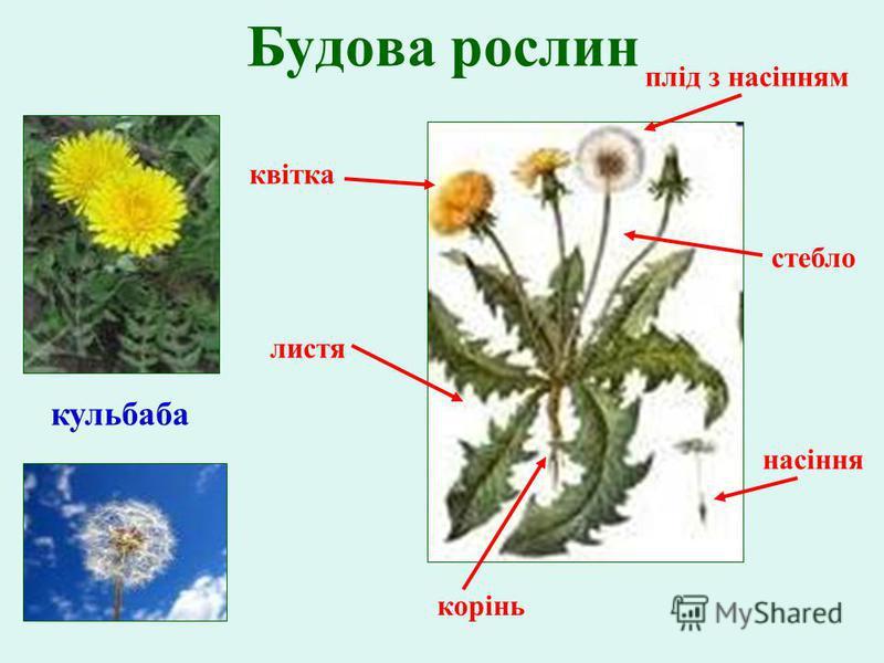 Будова рослин насіння корінь листя стебло плід з насінням квітка кульбаба